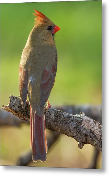 Metal Print featuring the photograph Female Cardinal by David Waldrop