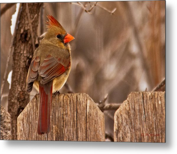 Female Cardinal On The Fence Metal Print