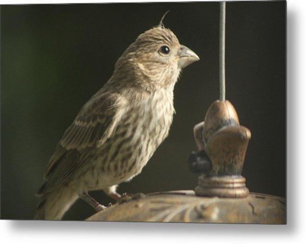 Female House Finch On Feeder Metal Print