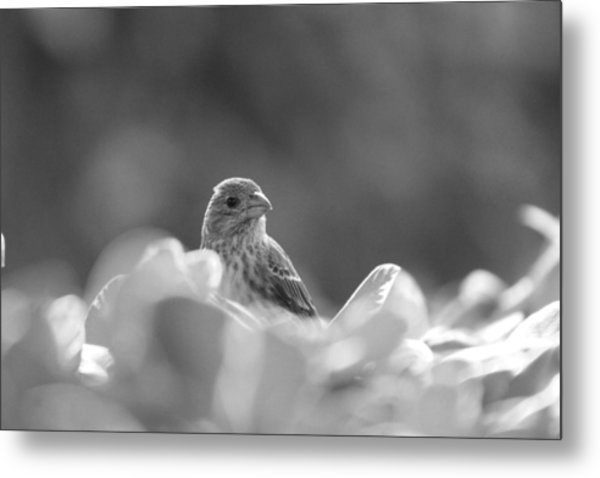 Female House Finch Perched In Black And White Metal Print