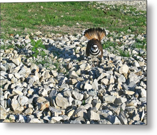 Female Killdeer Protecting Nest Metal Print