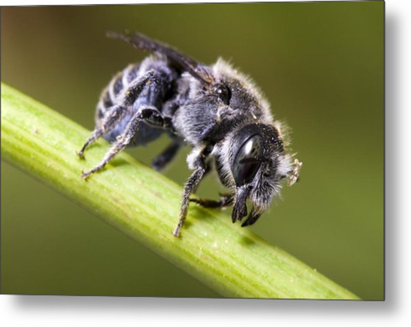 Female Megachilid Bee Metal Print by Andre Goncalves