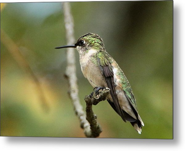 Female Ruby-throated Hummingbird On Branch Metal Print