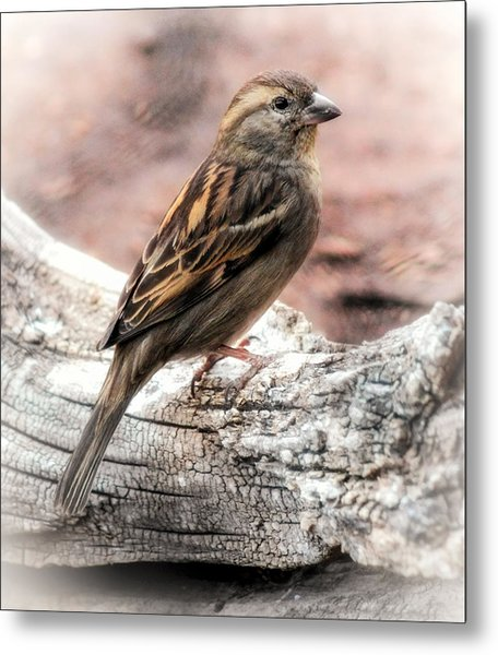Female Sparrow Metal Print