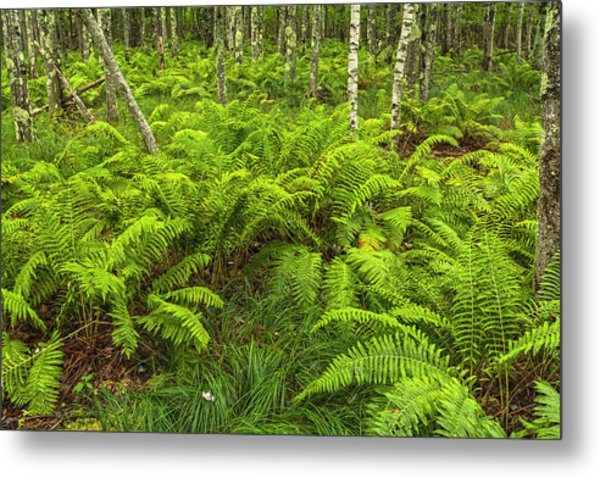Ferns And Birch In Soft Light Metal Print