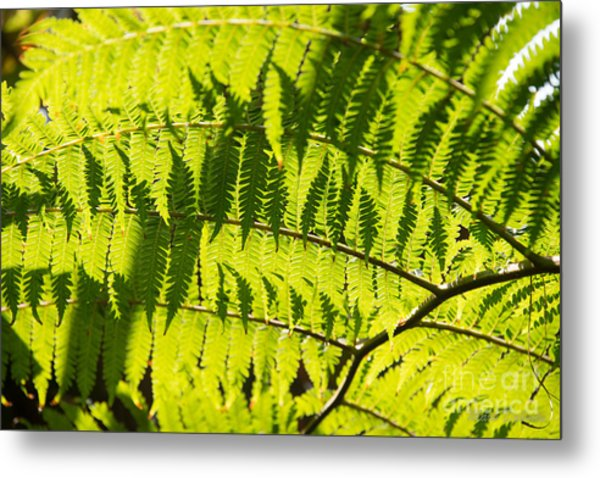 Ferns In Sunlight Metal Print