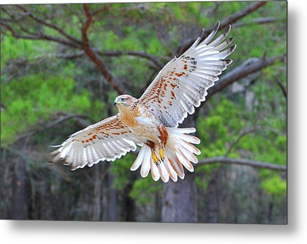 Ferriginious Hawk In Flight Metal Print