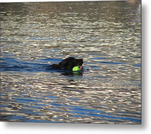 Fetch  Swimming 2 Metal Print by Hasani Blue