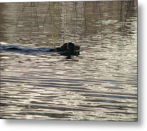 Fetch Swimming Metal Print by Hasani Blue