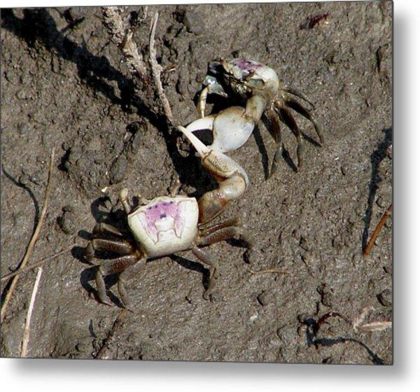 Fiddler Crabs Fighting 2 Metal Print