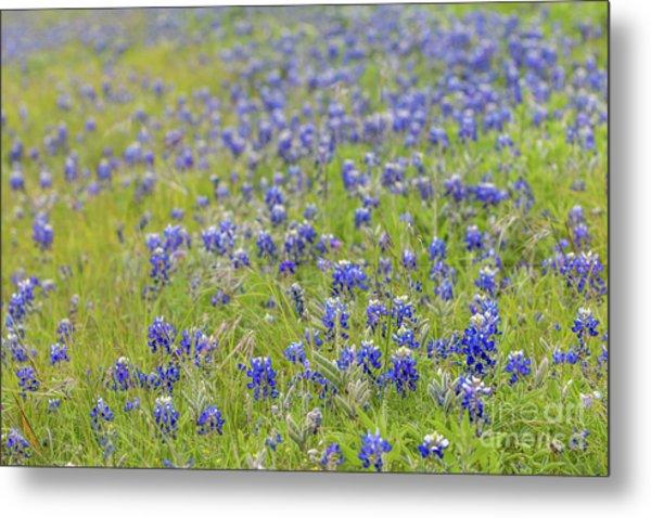 Field Of Blue Bonnet Flowers Metal Print