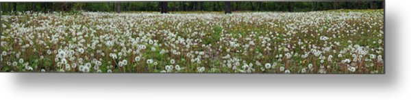 Field Of Dandelions Metal Print