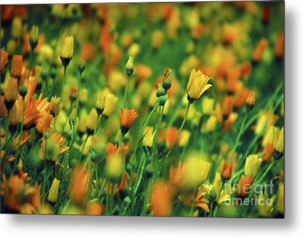 Field Of Orange And Yellow Daisies Metal Print