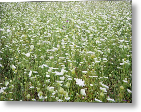 Field Of Queen Annes Lace Metal Print