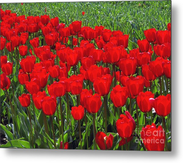 Field Of Red Tulips Metal Print