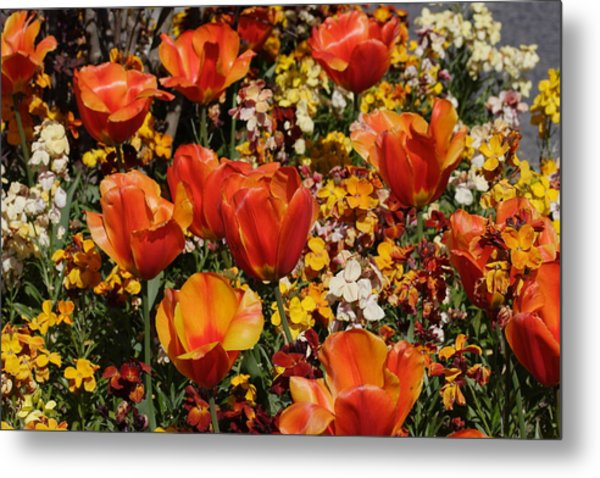 Field Of Tulips Metal Print by Pierre Leclerc Photography
