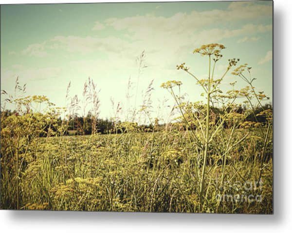 Field Of Wild Dill In The Afternoon Sun  Metal Print