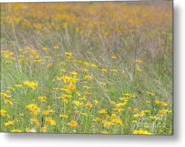 Field Of Yellow Flowers In A Sunny Spring Day Metal Print