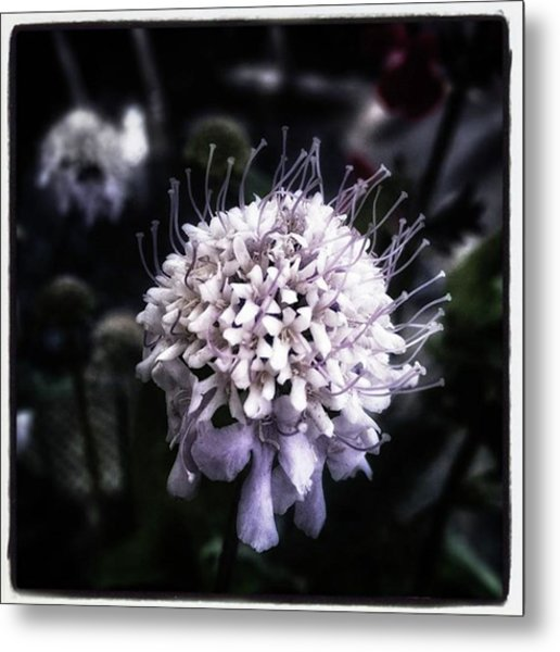 Metal Print featuring the photograph Field Scabious. A Member Of The by Mr Photojimsf