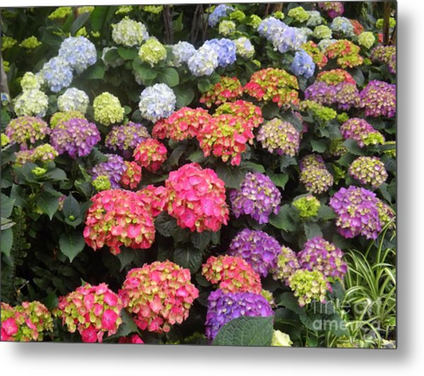Fifty Shades Of Hydrangea Metal Print