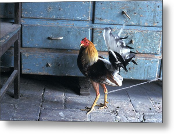 Fighting Cock Metal Print