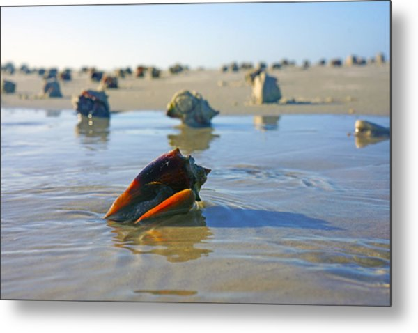 Fighting Conchs On The Sandbar Metal Print