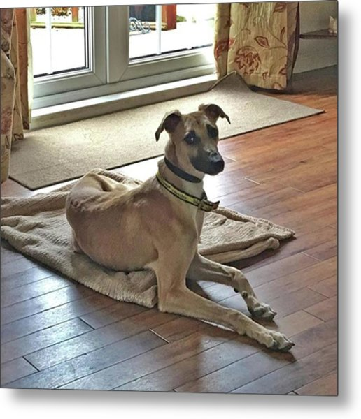 Finly - Ava The Saluki's New Companion Metal Print