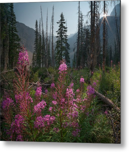Fireweed Sunrise // Bob Marshall Wilderness  Metal Print