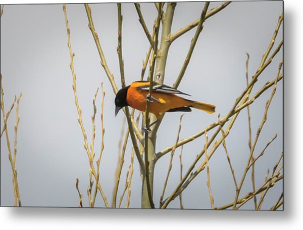 Metal Print featuring the photograph First Baltimore Oriole Of The Year  by Ricky L Jones