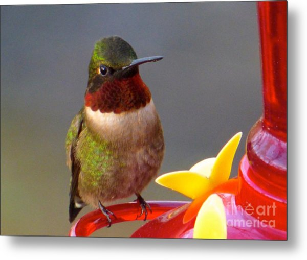 First Hummer Of 2015 Metal Print