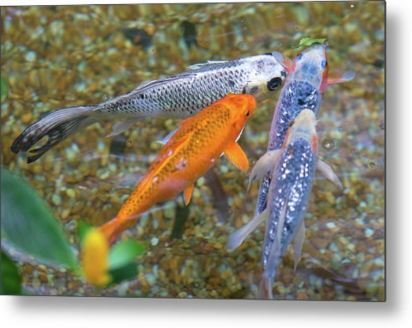 Fish Fighting For Food Metal Print