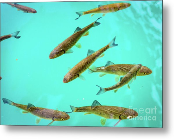 Fish School In Turquoise Lake - Plitvice Lakes National Park, Croatia Metal Print
