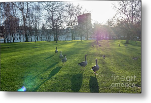 Five Ducks Walking In Line At Sunset With London Museum In The B Metal Print