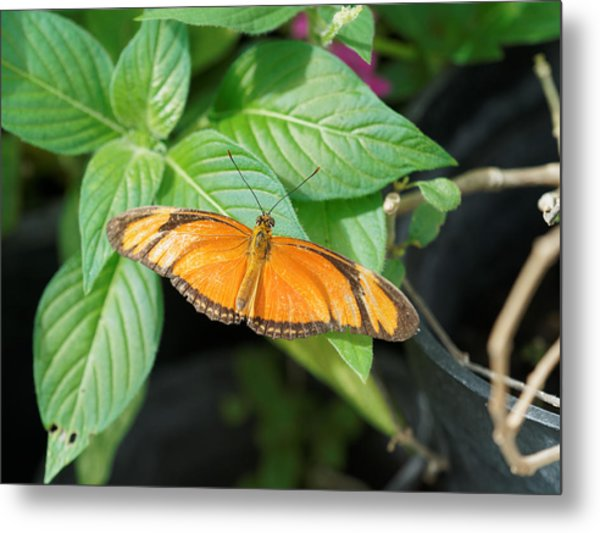 Metal Print featuring the photograph Flambeau Butterfly by Paul Gulliver