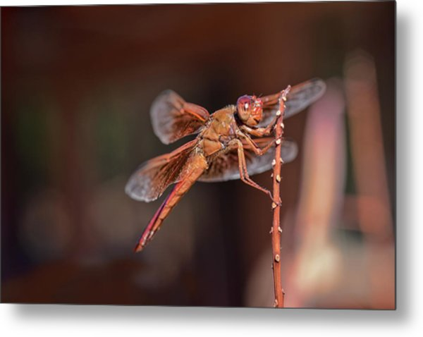 Metal Print featuring the photograph Flame Skimmer by Dan McManus