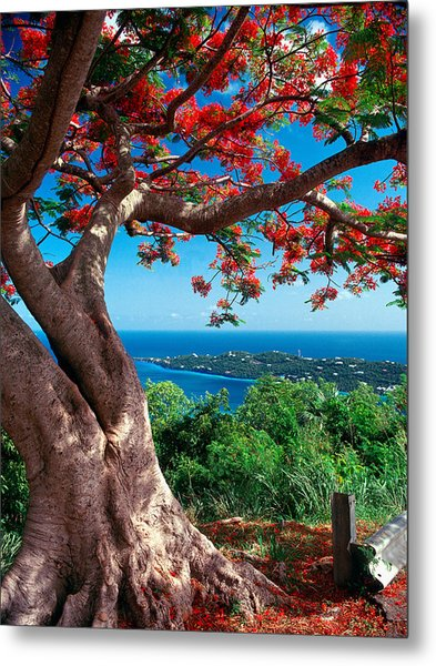 Flame Tree St Thomas Metal Print