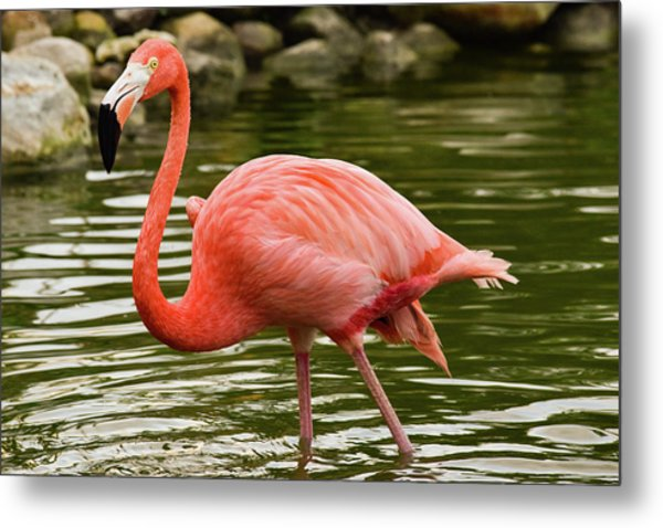 Flamingo Wades Metal Print