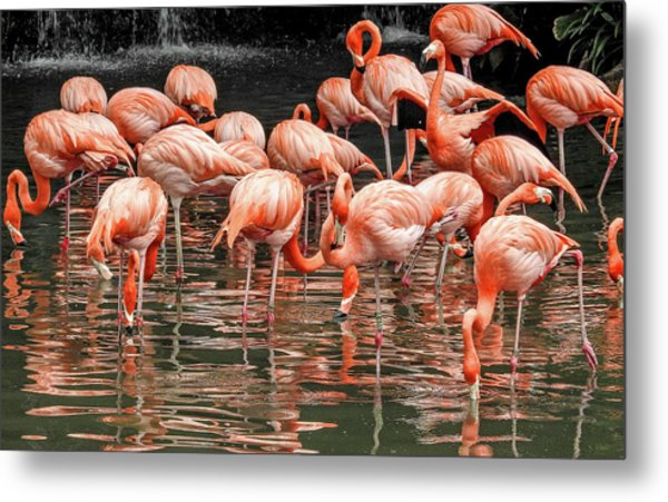 Metal Print featuring the photograph Flamingo Looking For Food by Pradeep Raja Prints