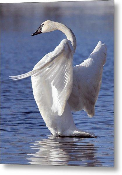 Flapping Swan Metal Print