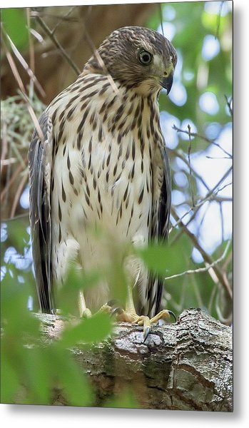 Fledgling Red-shouldered Hawk 2 Metal Print