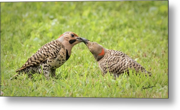 Flicker Feeding Metal Print