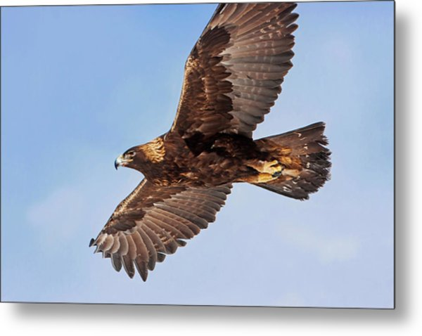 Flight Of The Golden Eagle Metal Print