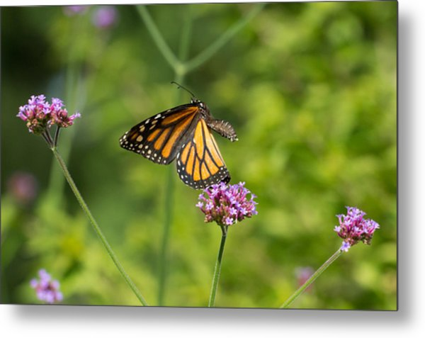 Flight Of The Monarch 1 Metal Print