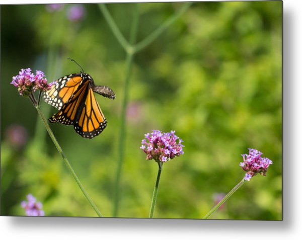 Flight Of The Monarch 2 Metal Print