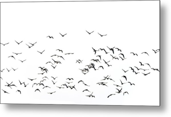 Flock Of Beautiful Migratory Lapwing Birds In Clear Winter Sky I Metal Print
