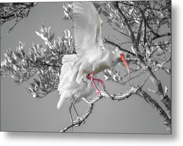 Florida Keys White Ibis Metal Print