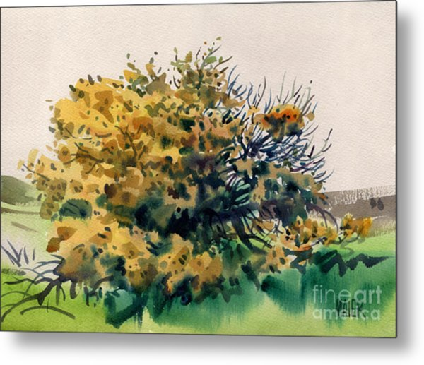 Flowering Acacia Tree Metal Print by Donald Maier