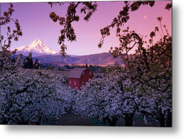 Flowering Apple Trees, Distant Barn Metal Print