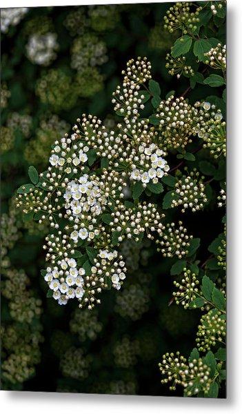 Flowering Bush Metal Print by Robert Ullmann