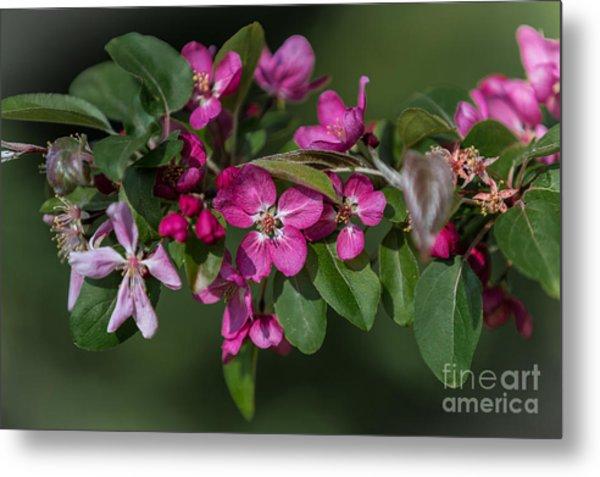 Flowering Crabapple Metal Print